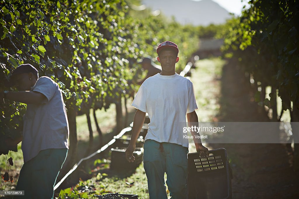 Male worker carrying box of grapes on vinyard : Stock Photo