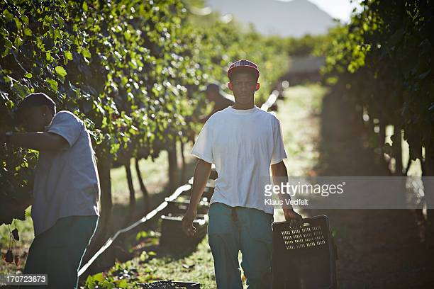 Male worker carrying box of grapes on vinyard