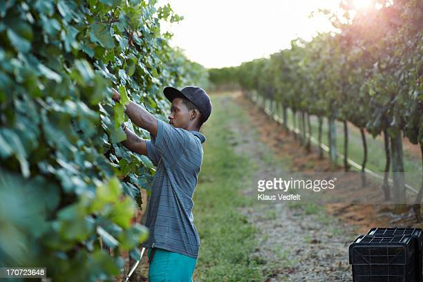 Male worker cutting of grapes on vinyard