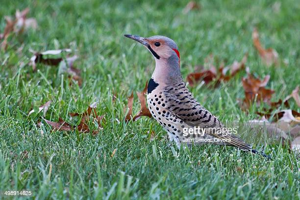 male yellow shafted northern flicker - blacksburg stock pictures, royalty-free photos & images