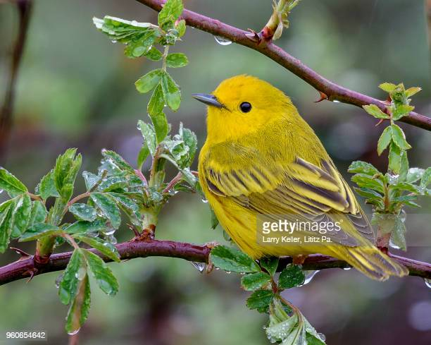 a male yellow warbler during the spring migration in pennsylvania - songbird stock pictures, royalty-free photos & images