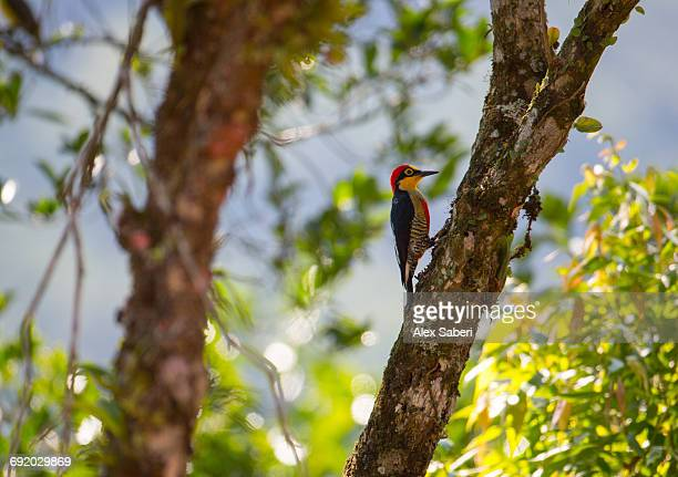 a male yellow-fronted woodpecker, melanerpes flavifrons, in the atlantic rainforest. - alex saberi stock pictures, royalty-free photos & images
