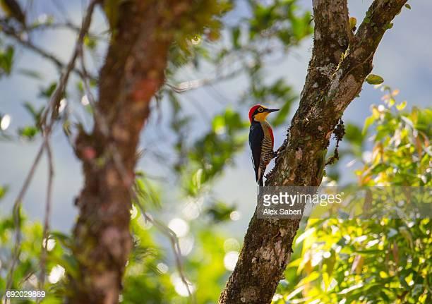 a male yellow-fronted woodpecker, melanerpes flavifrons, in the atlantic rainforest. - alex saberi stock-fotos und bilder