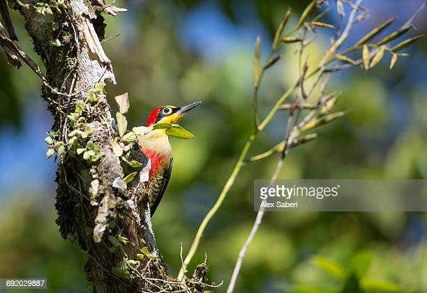 a male yellow-fronted woodpecker, melanerpes flavifrons, in the atlantic rainforest. - alex saberi foto e immagini stock