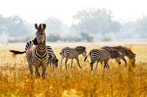 Male Zebra Protecting his herd 178598946