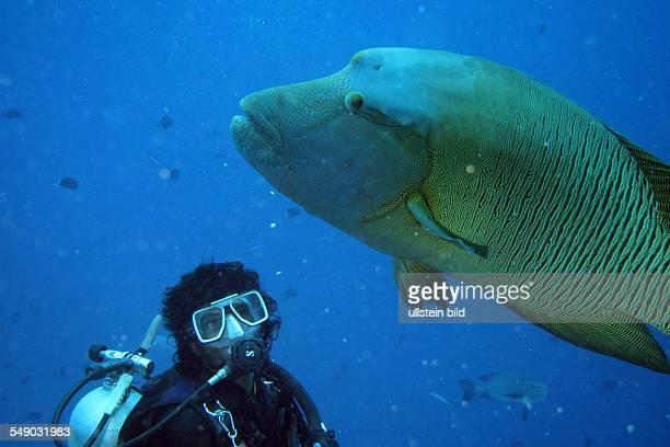 Malediven - Taucher und ein Napoleonfisch