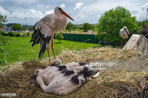 Malena keeps an eye on her stork chicks while Klepetan is close by on June 20 2016 in Brodski Varos Croatia Stjepan Voki has been taking care of...