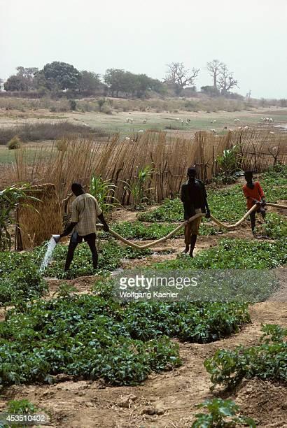 Mali Garden On The Banks Of Bani River Boys Watering Garden