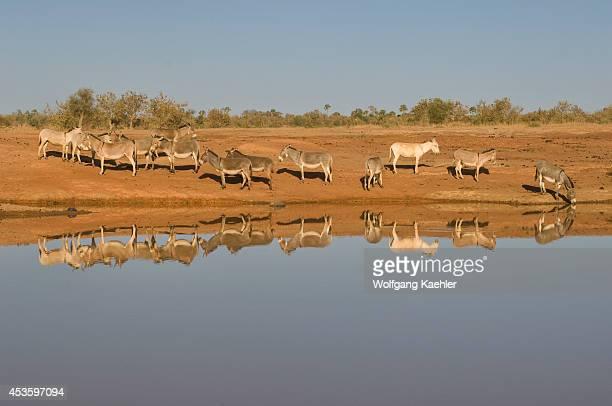 Mali, Near Bandiagara, Dogon Country, Donkeys At Pond Reflecting In Water.