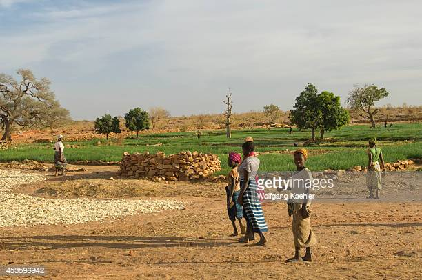 Mali Near Bandiagara Dogon Country Near Djiguibombo Village Onion Fields Onions Being Dried Cash Crop People
