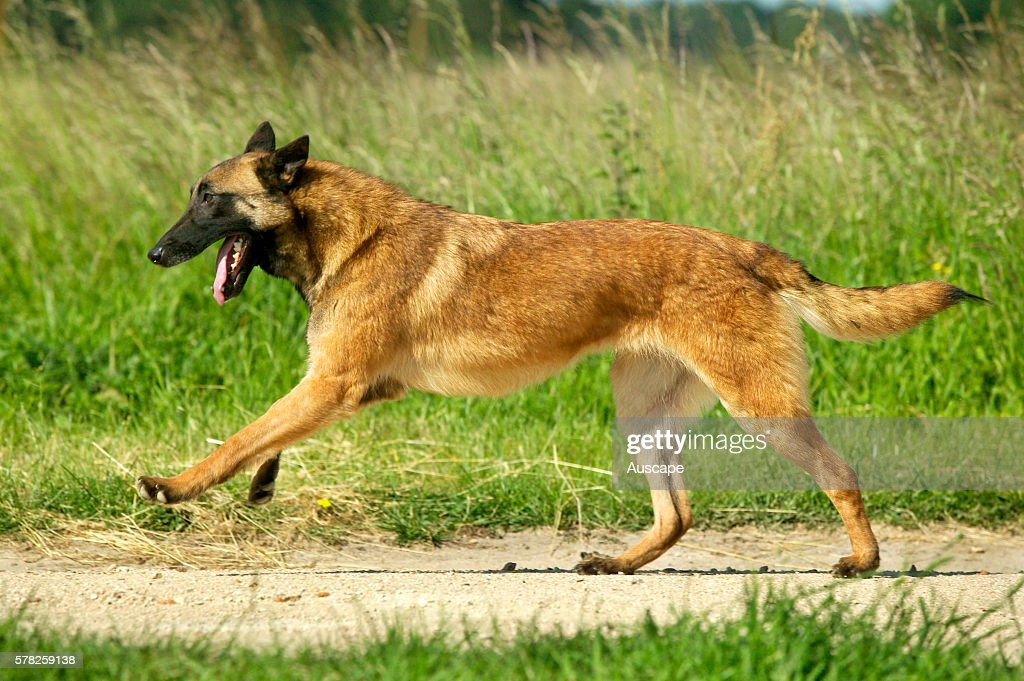 Malinois, Canis familiaris : News Photo