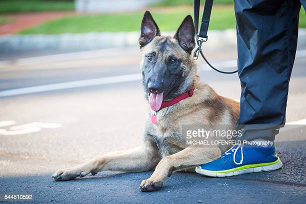malinois dog - police dog stock photos and pictures