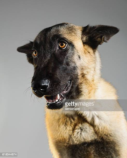 Malinois dog studio portrait