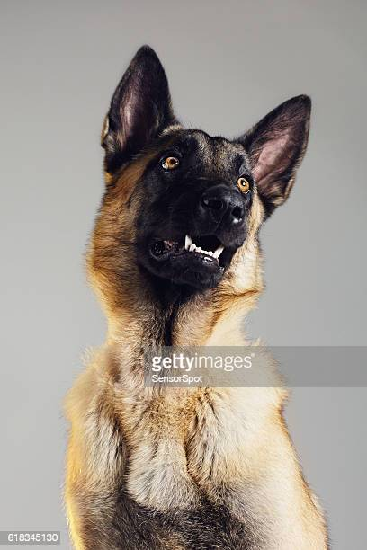 malinois dog studio portrait - belgian malinois stock photos and pictures
