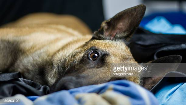 malinois lying on the bed - berger belge malinois photos et images de collection