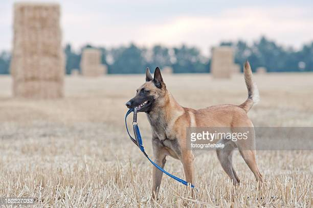 malinois - belgian malinois stock photos and pictures
