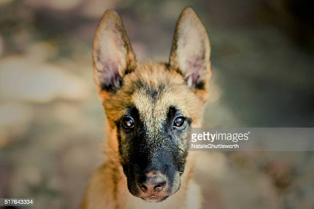 malinois puppy - head shot - berger belge malinois photos et images de collection