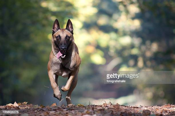 malinois running in a forrest - belgian malinois stock photos and pictures