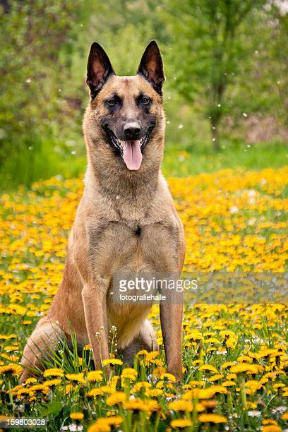 malinois sitting on a meadow of dandelions. - belgian malinois stock photos and pictures