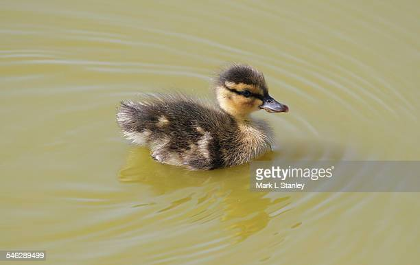 mallard - anas platyrhynchos - duckling stock pictures, royalty-free photos & images