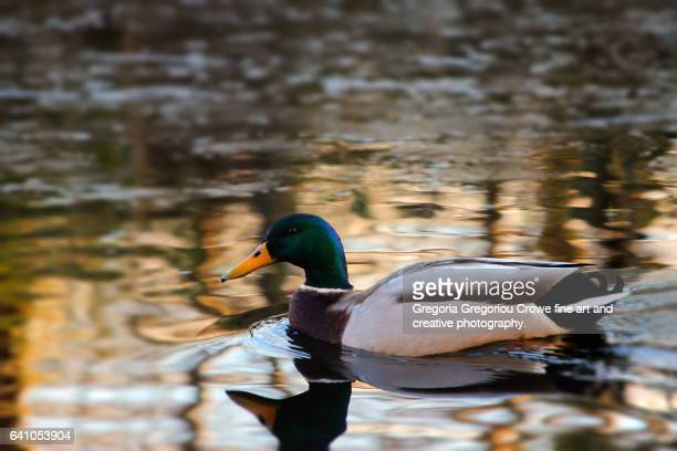 mallard - anas platyrhynchos - gregoria gregoriou crowe fine art and creative photography stock photos and pictures