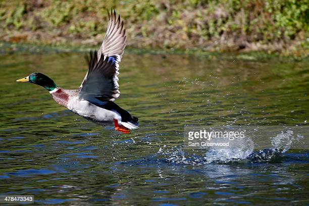 A mallard as seen on the 16th hole during the first round of the Valspar Championship at Innisbrook Resort and Golf Club on March 13 2014 in Palm...