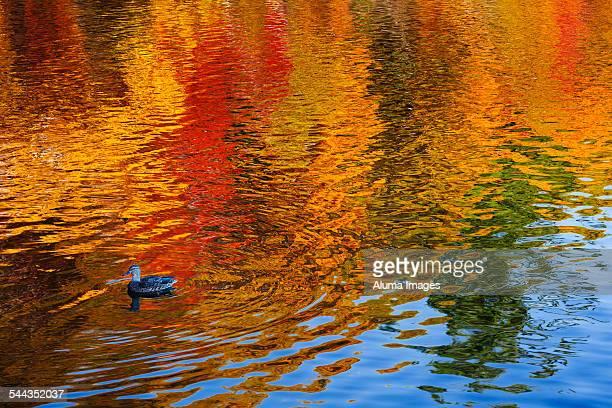 Mallard duck and tree reflections