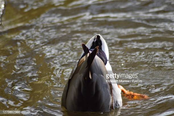 mallard duck diving - truro cornwall stock pictures, royalty-free photos & images
