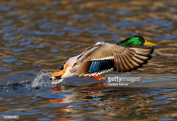 mallard duck (anas platyrhynchos), drake taking off from the water's surface - vista lateral stock pictures, royalty-free photos & images