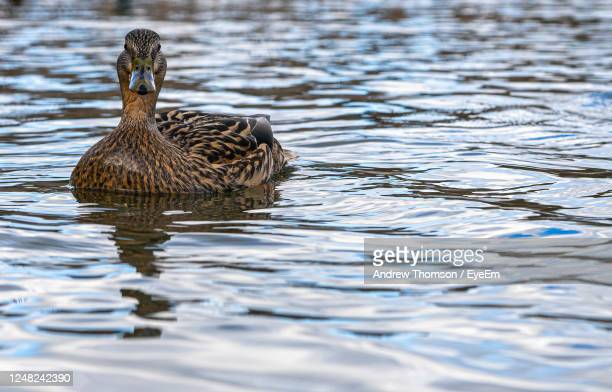 mallard duck ducks on lake pond low level close up view - drake stock pictures, royalty-free photos & images