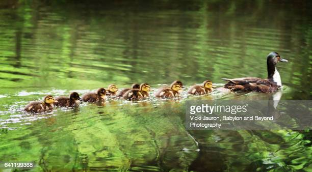 Mallard Duck Family Swim Near Argyle Lake, Babylon, Long Island