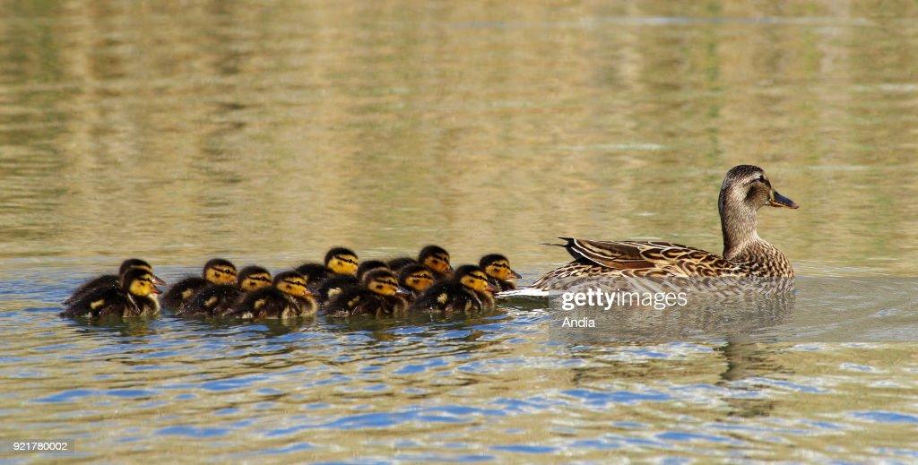 Mallard duck (Anas platyrhynchos). Female duck and its ducklings on a pond in the Camargue region (south-eastern France).