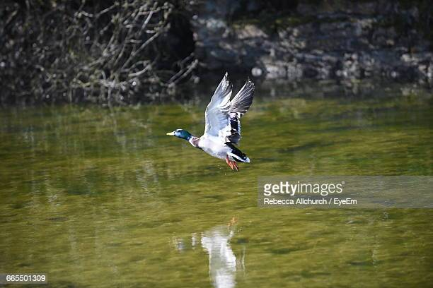 Mallard Duck Stock Photos And Pictures