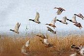 Mallard duck flying over the lake