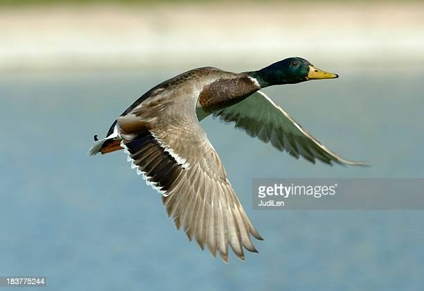 Canard colvert de vol