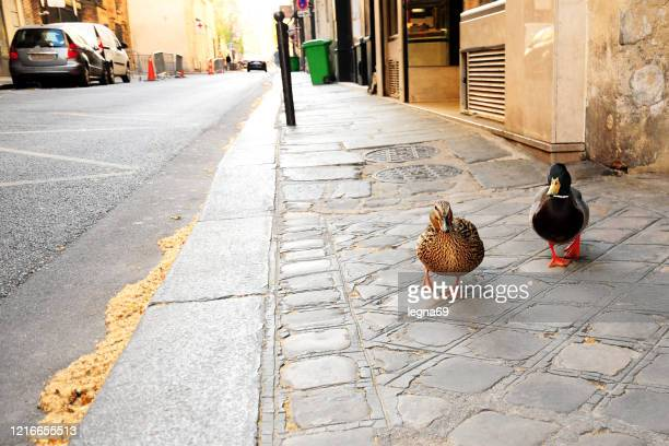 mallard duck in paris during pandemic covid 19 in europe. - empty city coronavirus stock pictures, royalty-free photos & images