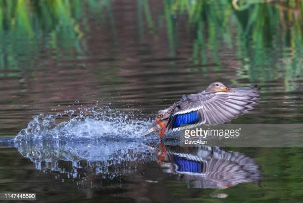 mallard duck landing - anatra uccello acquatico foto e immagini stock