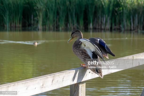 mallard duck lost footing standing on a wooden fence - northamptonshire stock pictures, royalty-free photos & images