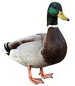 Mallard duck on white background