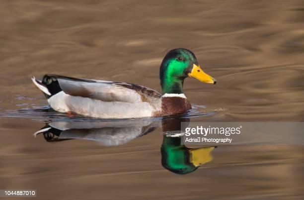 mallard duck - germano reale foto e immagini stock