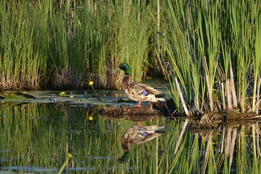 Mallard Duck 1159890820