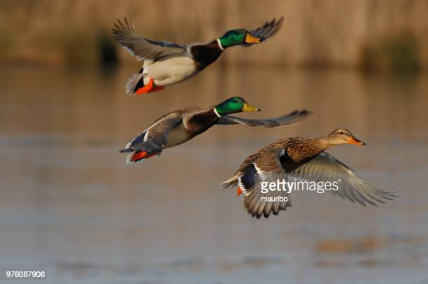 mallard duck (anas platyrhynchos) - duck bird stock photos and pictures