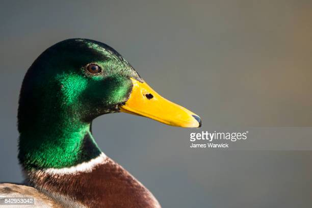 mallard duck portrait - snavel stockfoto's en -beelden