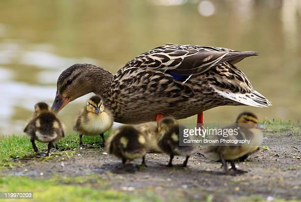 Mallard duck with ducklings
