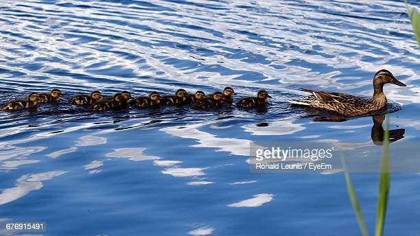 Mallard Duck With Ducklings Swimming On Lake