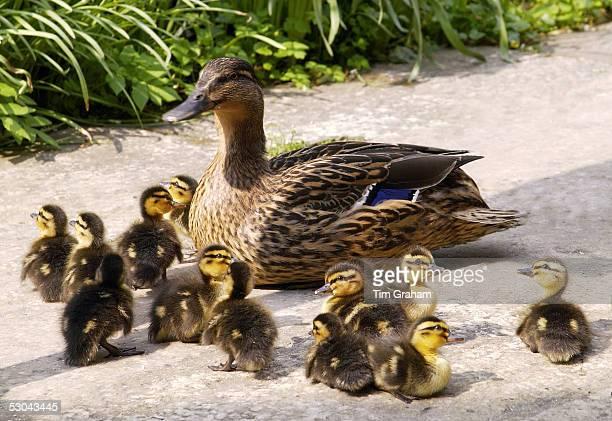 Mallard duck with her twelve ducklings Oxfordshire England