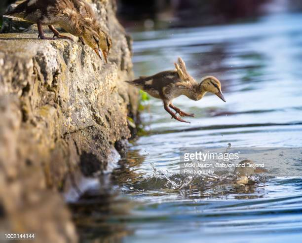 mallard ducklings leaping into the water at argyle lake, babylon, long island - duckling stock pictures, royalty-free photos & images