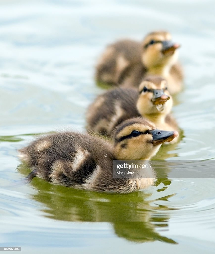 Mallard ducklings : Stock Photo