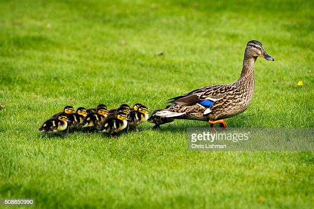 mallard & ducklings - animal family stock pictures, royalty-free photos & images