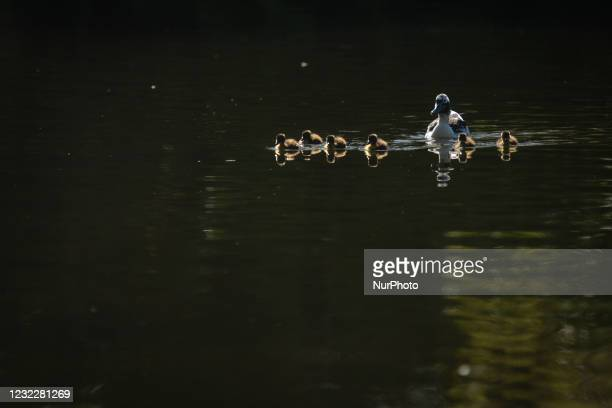 Mallard ducklings with their mother take a swim on the pond in St. Stephen's Green, in Dublin, during the COVID-19 lockdown. On Tuesday, 13 April...